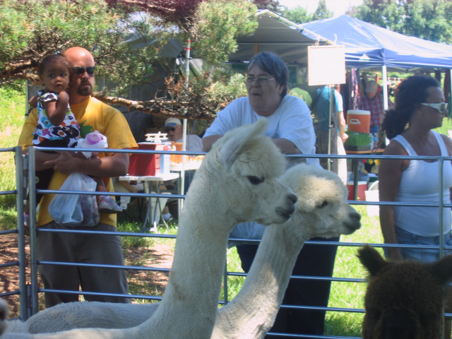 Image - Photo of Alpacas at the Market